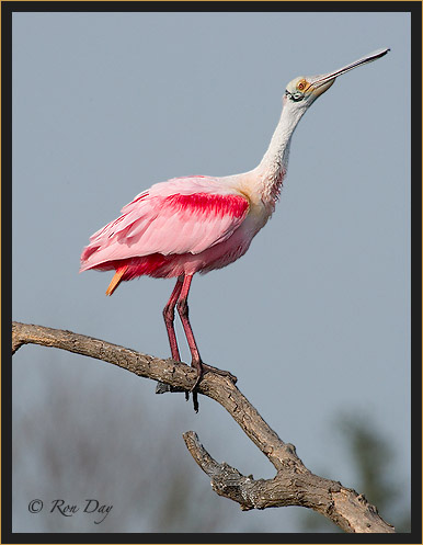 Roseate Spoonbill in Breeding Plumage, High Island